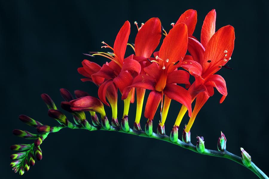Crocosomia Lucifer Montbretia Floral by Floral Art