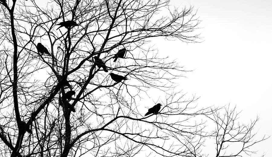 Crows In Tree Photograph