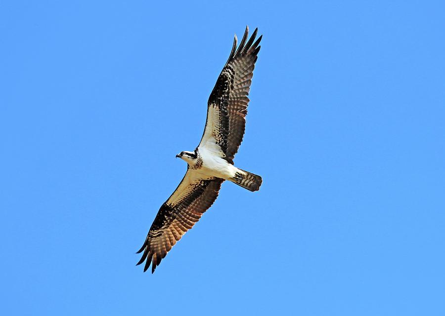 Cruising Osprey Photograph