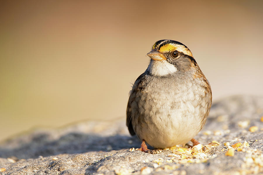 Crunch N Munch - White-throated Sparrow - Zonotrichia albicollis by Spencer Bush