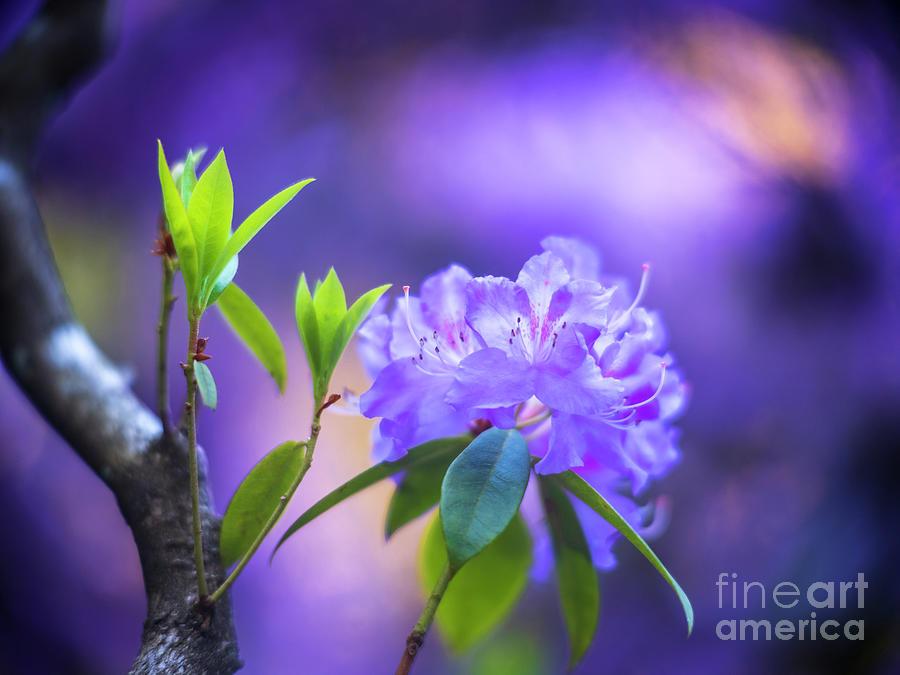 Crystal Purple Azaleas Blooms Photograph