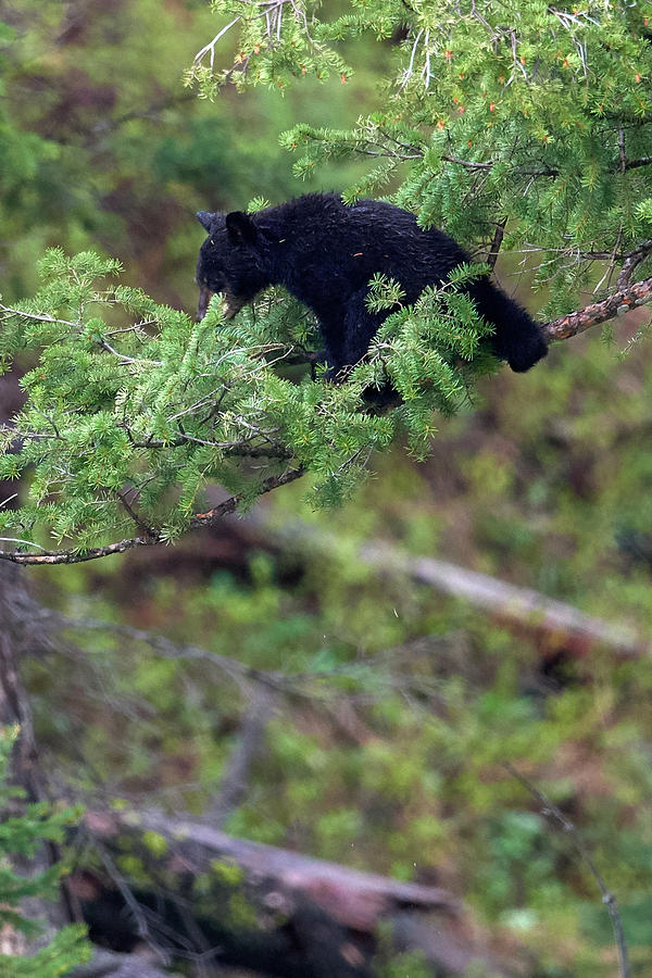 Cub stuck in a tree by Paul Freidlund