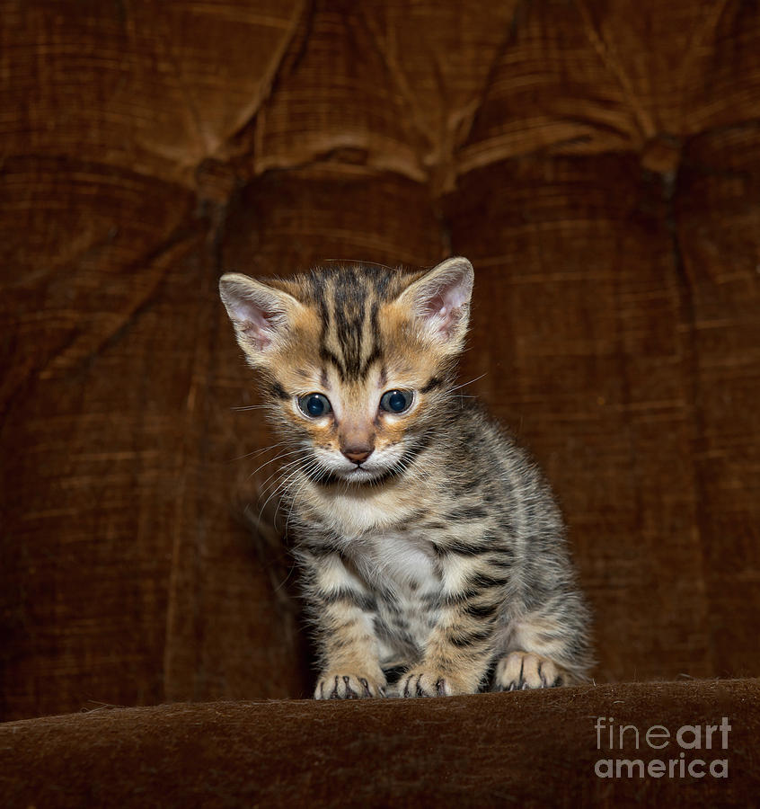 Curious Bengal Kitten - Designer Face Mask Photograph