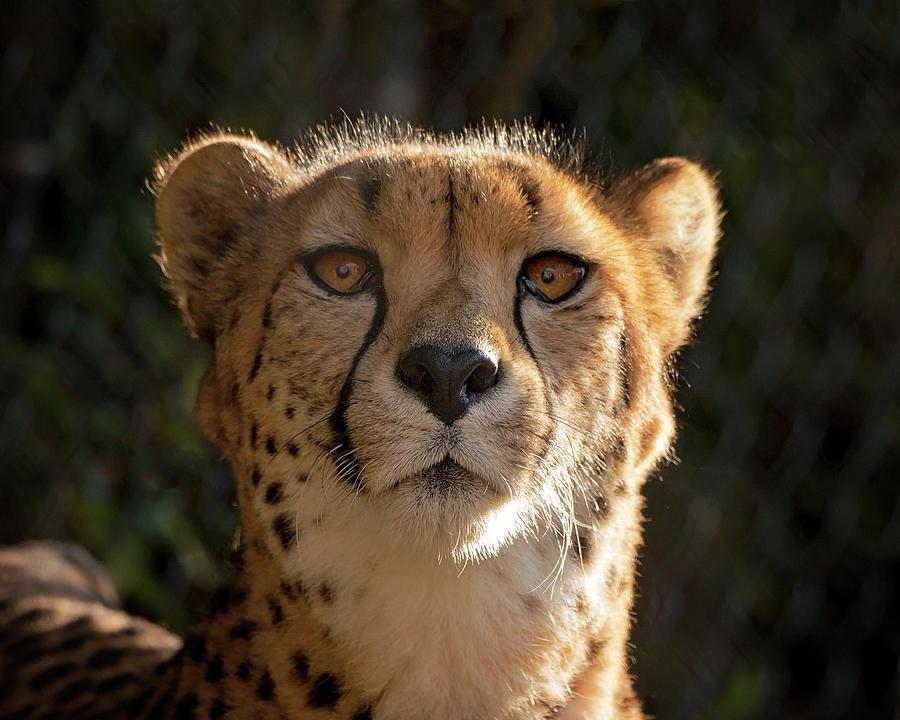 Cheetah Photograph - Curious Cheetah by Travis Rogers