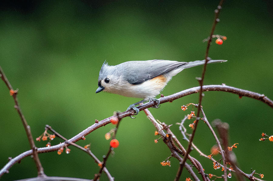 Curious Tufted Titmouse by Mike Koenig