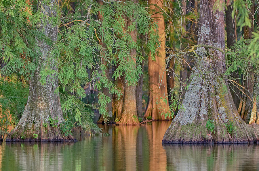 Cypress Photograph - Cypress Avenue by Jim Cook