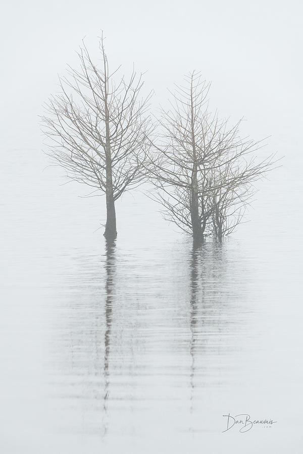 Cypress In Fog 0241 Photograph