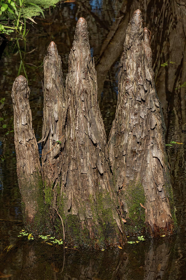 Cypress Knees in the Swamp by Margaret Zabor