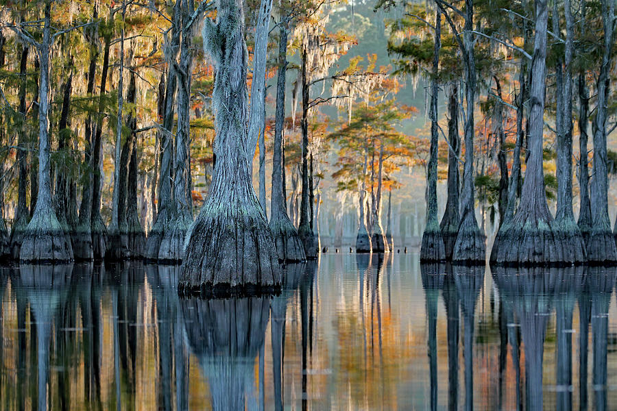 Cypress Reflection Photograph