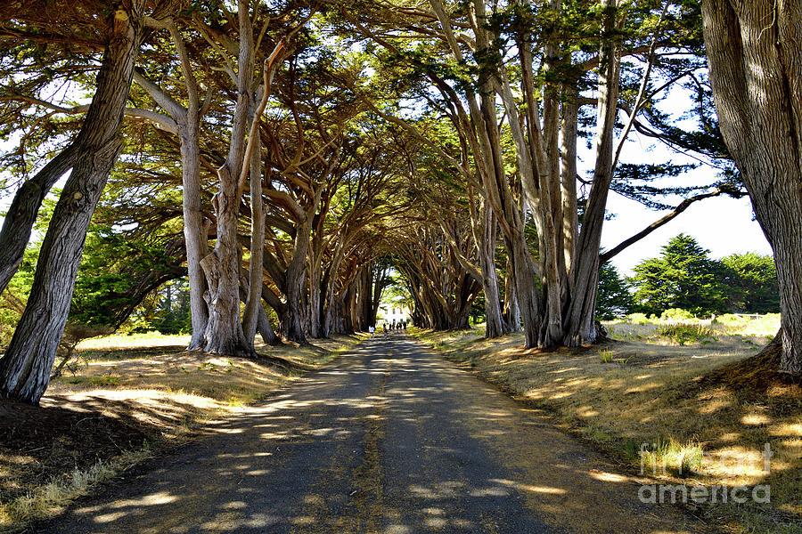 Cypress Tree Tunnel Photograph