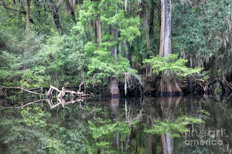Hillsborough Photograph - Cypress Trees And Reflections At Riverbank by Felix Lai