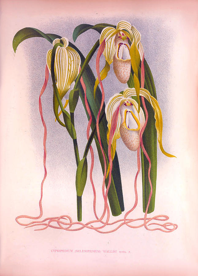 Cypripedium Selenipedium Wallis Vintage Trailing Orchid by Jean Jules Linden
