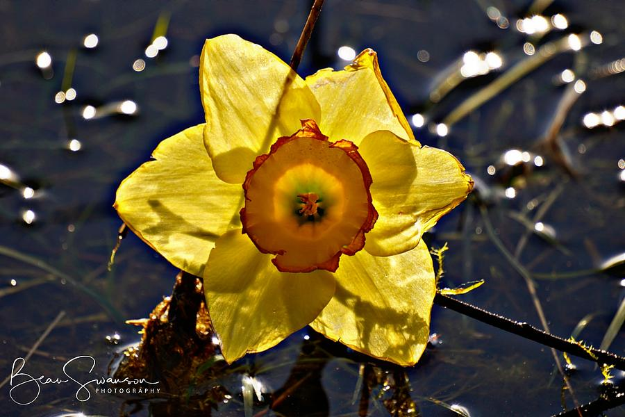 Daffodil Sunset Photograph By Beau Swanson