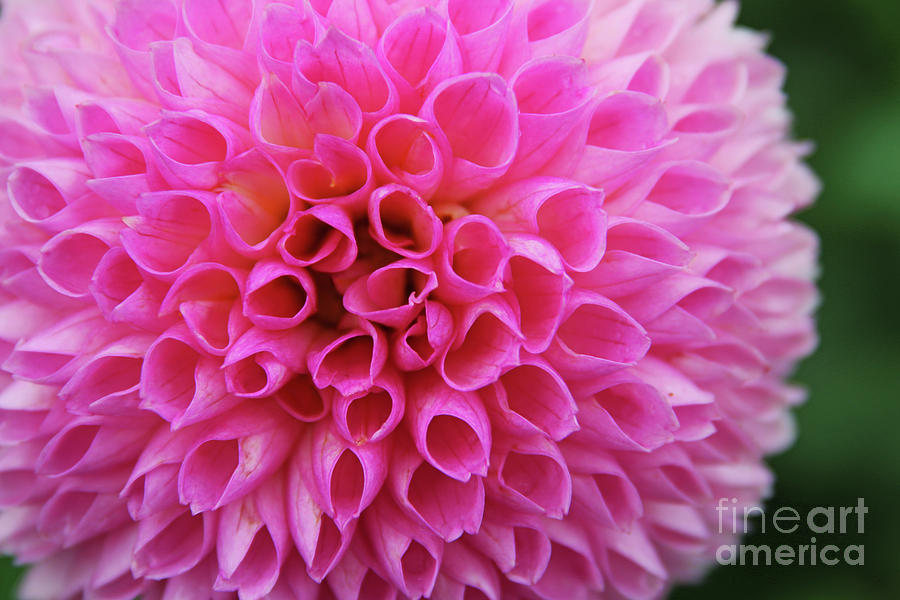 Dahlia 3933 Photograph
