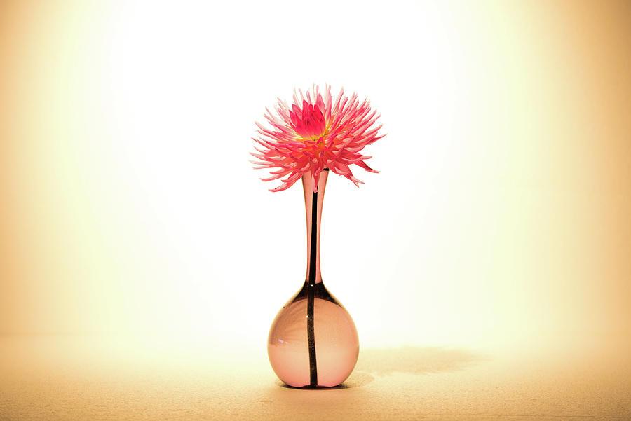 Dahlia Lady Lapita, Gorgeous In An Elegant Glass Vase Photograph