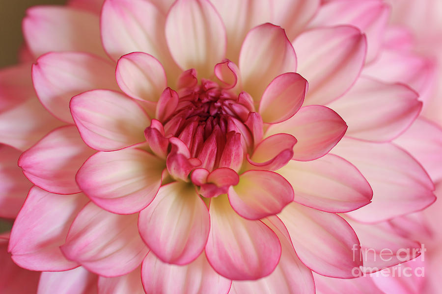 Dahlia Strawberries And Cream Photograph