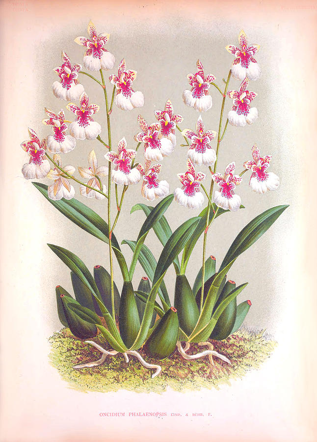 Dainty Pink White Orchids Vintage Oncidium Phalaenopsis by Jean Jules Linden
