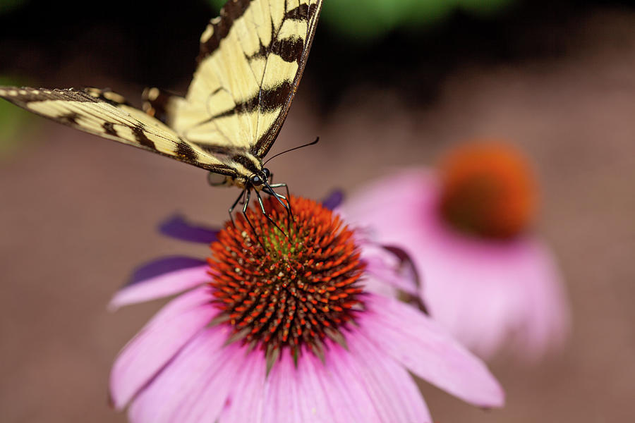 Dainty Swallowtail On A Coneflower Photograph
