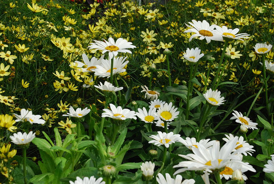 Daisies Photograph - Daisies And Company by Ee Photography