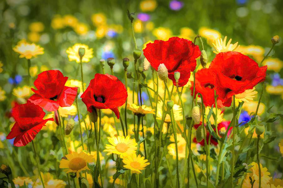Daisies And Poppies  Art Photograph