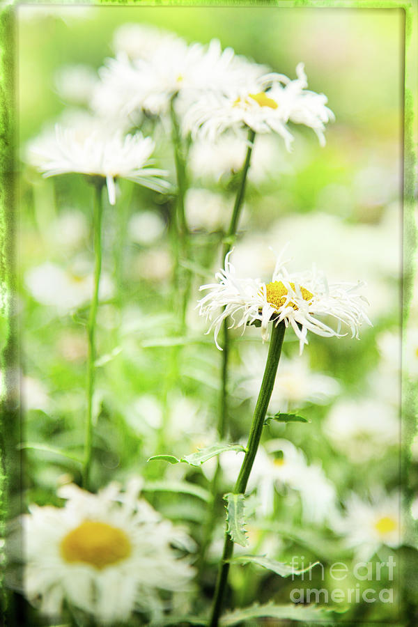 Daisy Photograph - Daisies Are Never Alone by Marilyn Cornwell