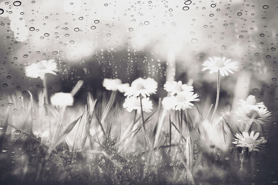 Daisies Dancing In The Rain Black And White Photograph