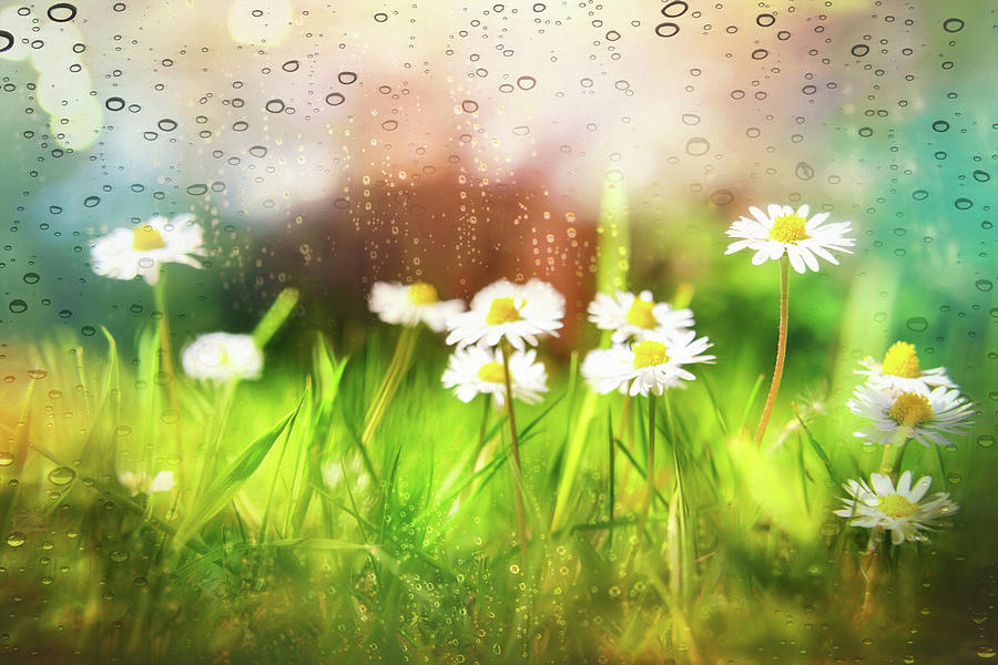 Daisies Dancing In The Rain Photograph