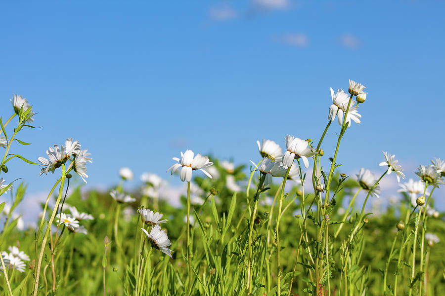 Daisies In The Wind Photograph