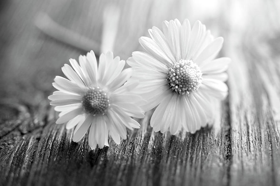 Daisies On Wood Photograph