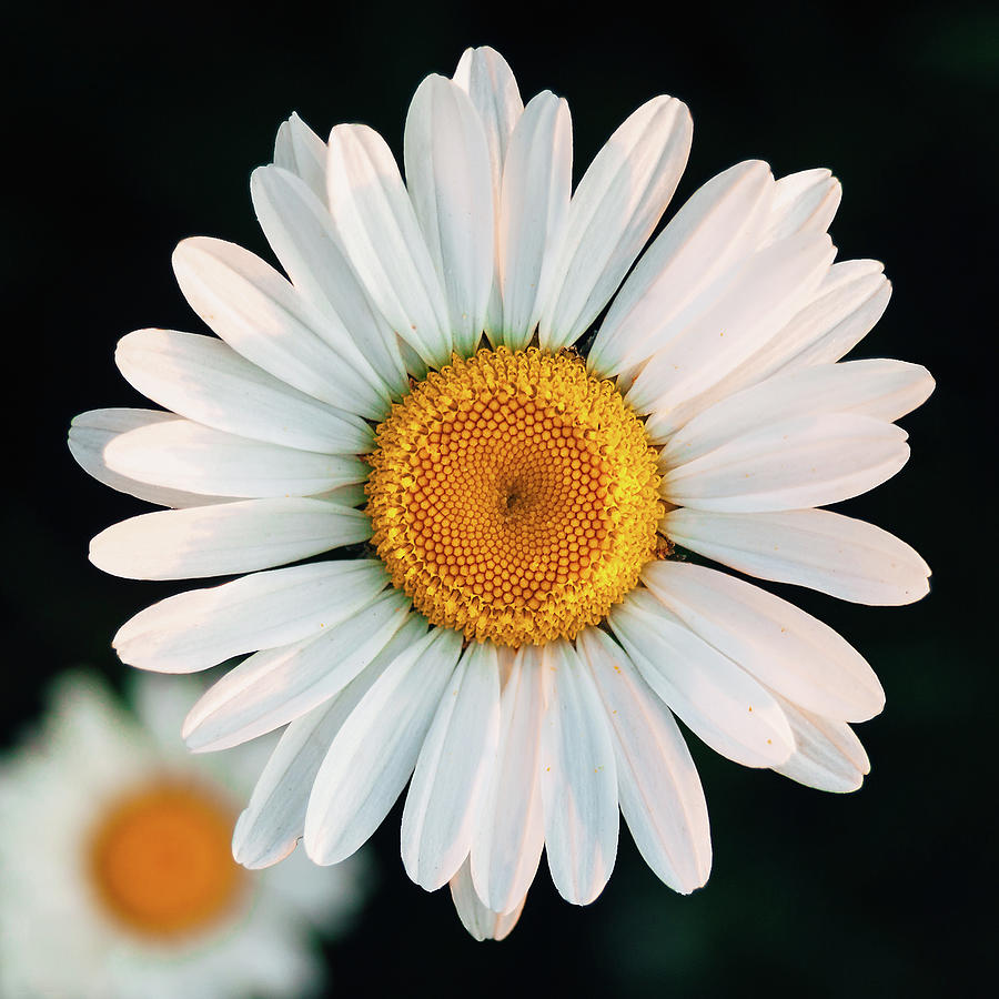 Daisy Wildflower Photograph