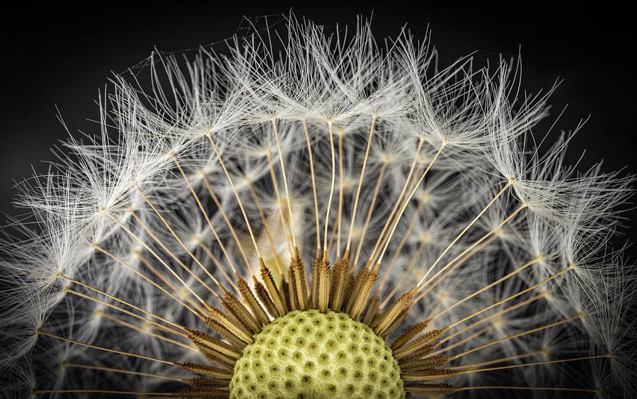 Dandelion Half Photograph