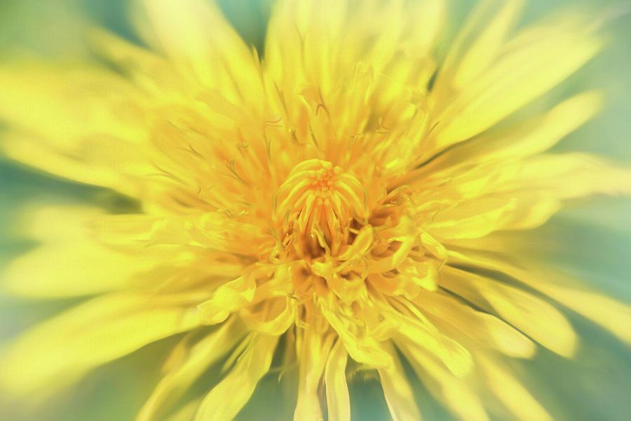 Dandelion Head Photograph