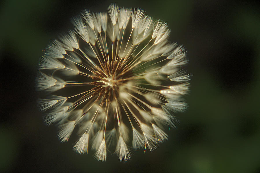 Dandelion On A Dark Background In The Rays Of Evening Light Photograph By Roman Shtypuk