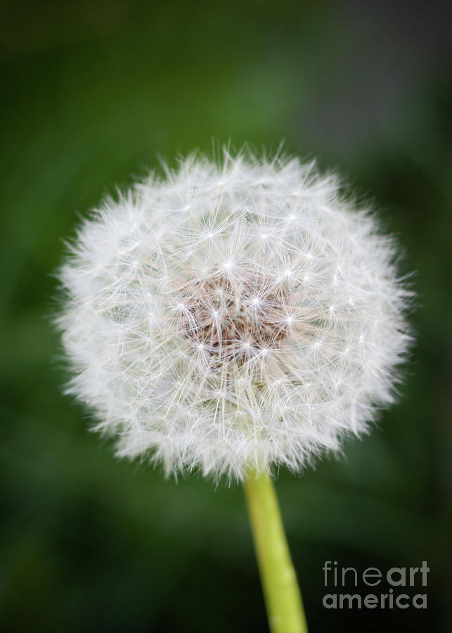 Dandelion Photograph by Ross Coleman