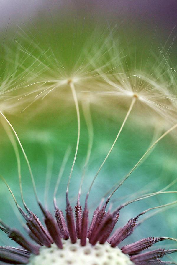 Dandelion Seeds Macro Photograph Photograph by Trevor Slauenwhite