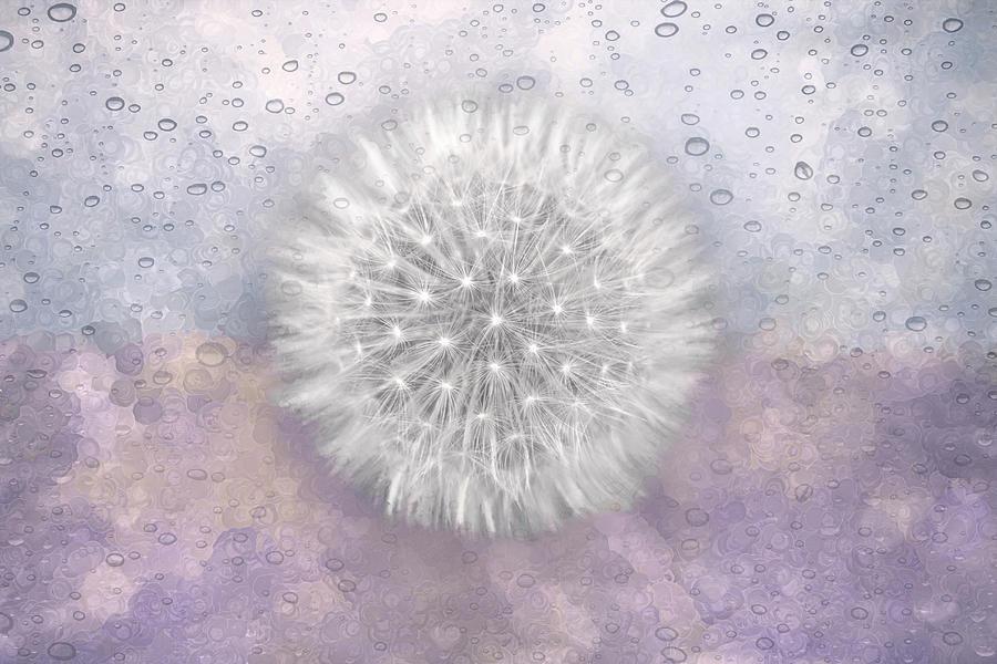 Dandelion Wishes Delicate Lavender Photograph