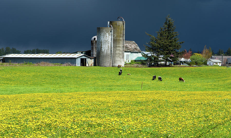 Dandelions and Dairy Cows by Tom Cochran