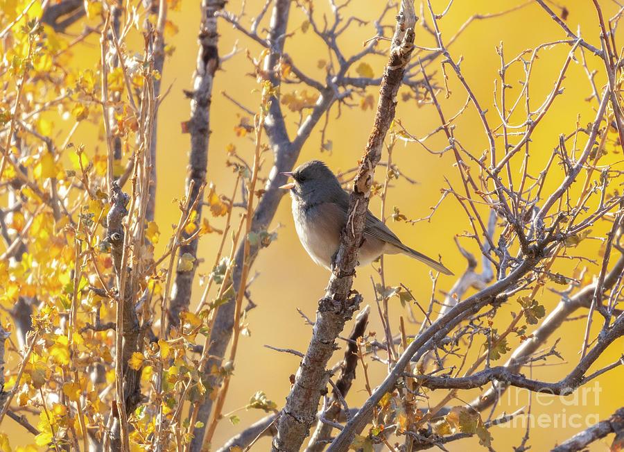 Dark-eyed Junco Sparrow Photograph
