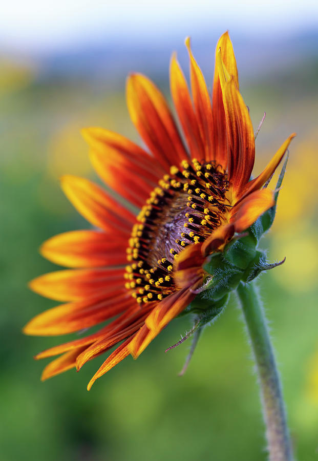 Dark Orange and Yellow Sunflower Photograph by Barbara Rogers