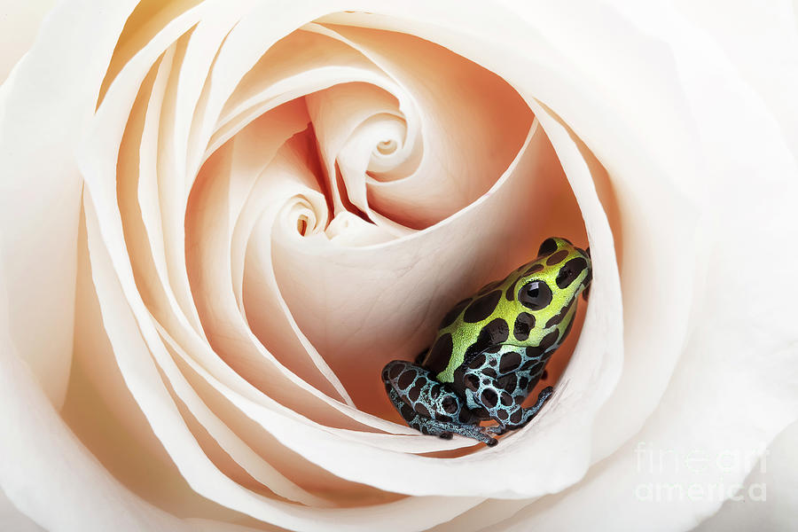 Dart Frog In A Rose Photograph
