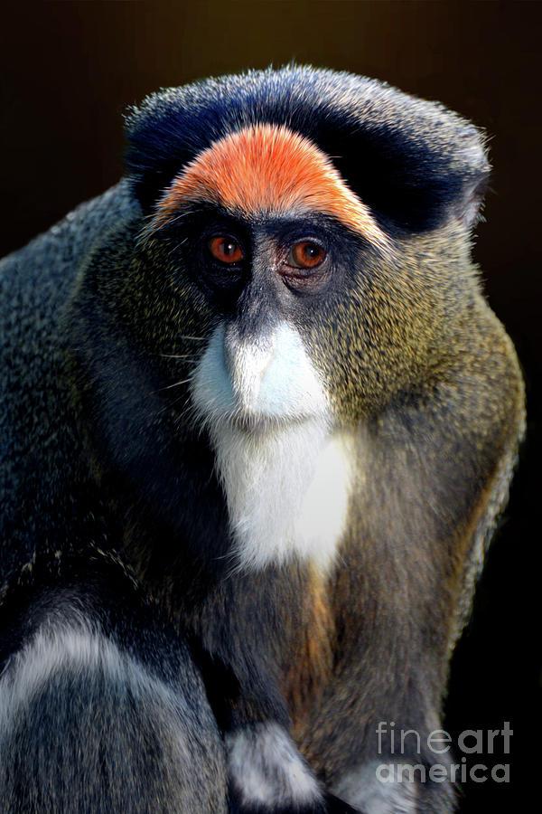 De Brazzas Monkey Photograph