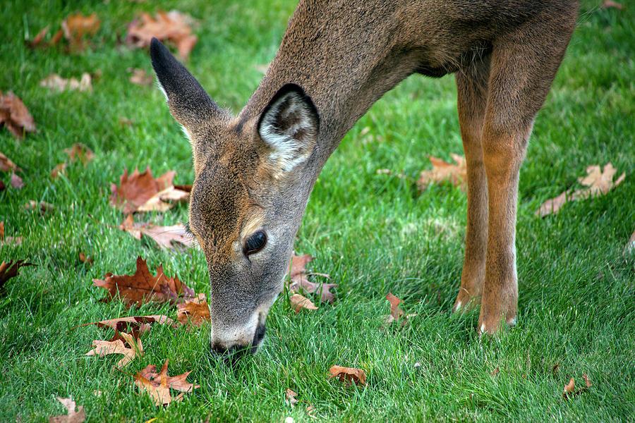 Deer Beauty by Karol Livote