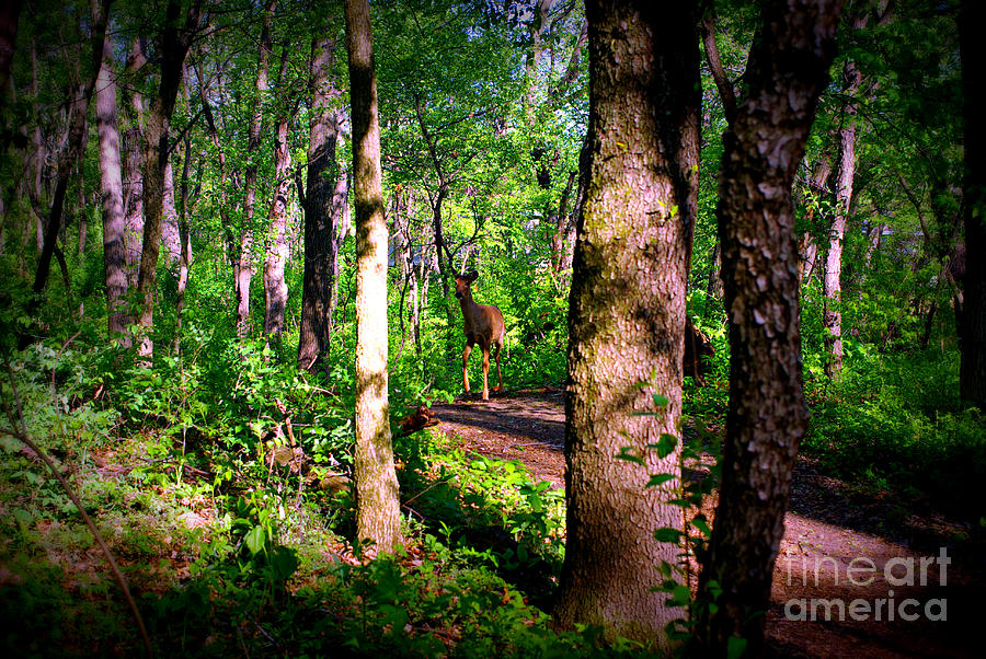 Deer On The Forest Trail Photograph