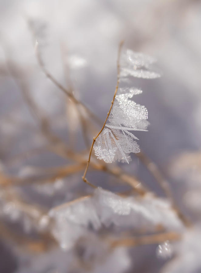 Delicate Ice Crystals on Tiny Branch by Barbara Rogers