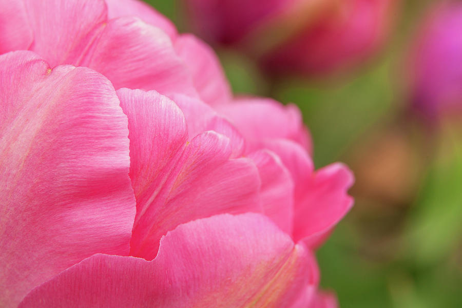 Delicate Pink Tulip Photograph