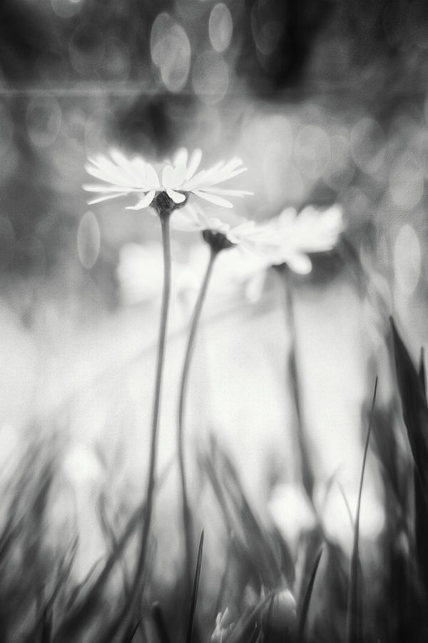 Delightful Daisies Black And White Photograph