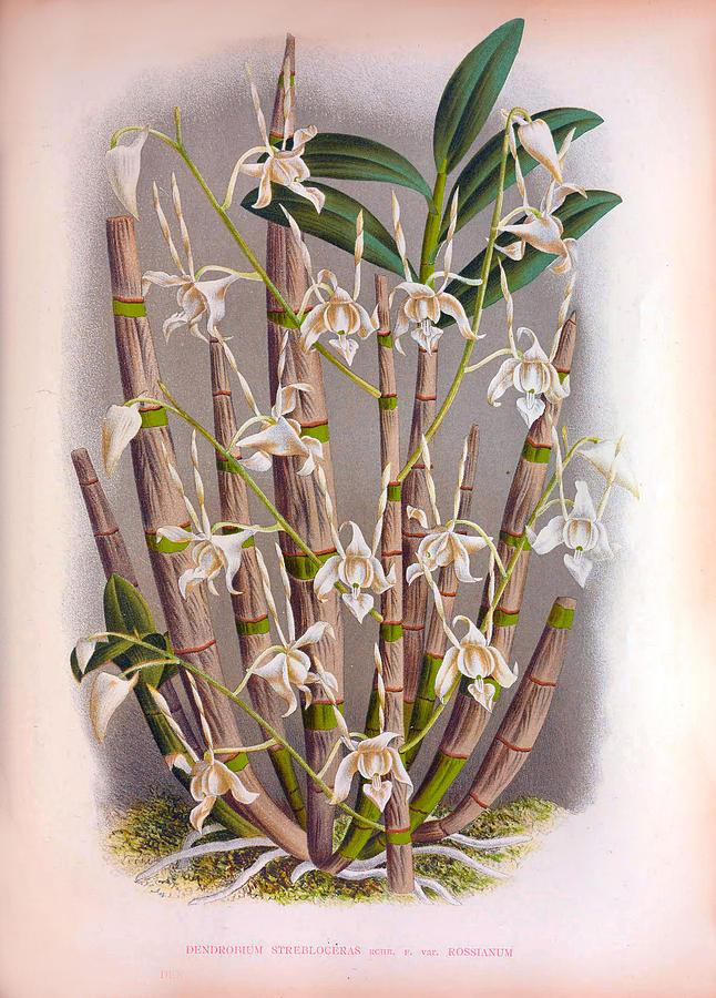 Dendrobrium Strebloceras Russianum White Vintage Orchids by Jean Jules Linden