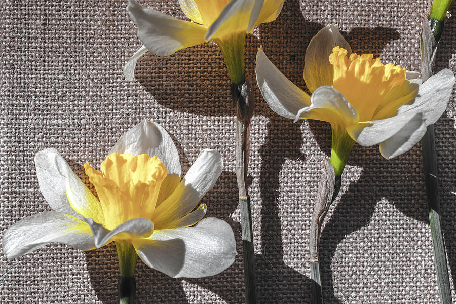 Desaturated Daffodils Photograph