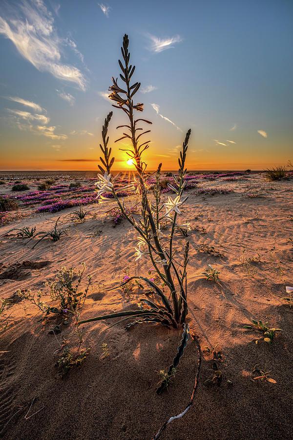 Desert Lily At Sunset Photograph
