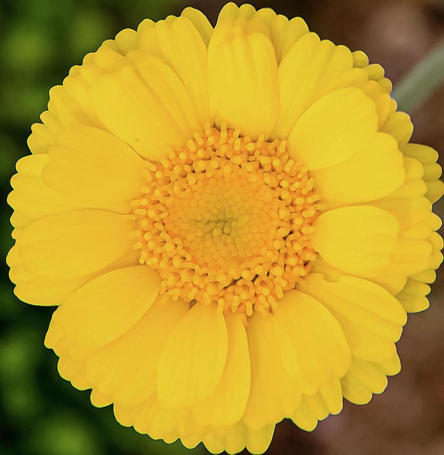 Desert Marigold Photograph